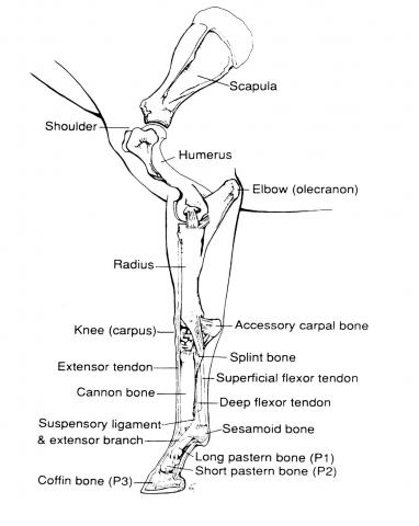Horse Hind Leg Bone Diagram - Search For Wiring Diagrams •