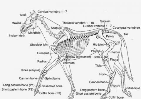 Equine Anatomy Illustrations | Thoroughbred OwnerView – Thoroughbred ...